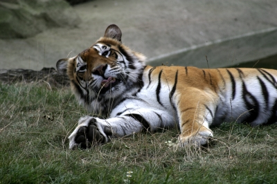 """Tiger: """"Come and interact with me, I won't bite."""""""